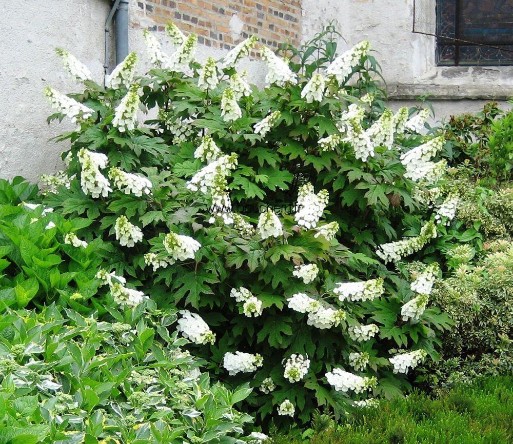 Hydrangea quercifolia recherche google groen for Hydrangea quercifolia