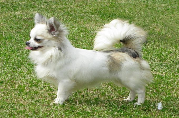 Different Types Of Chihuahua Dog Breeds Body Head And Coat Styles Teacup Dog Daily In 2020 Chihuahua Dogs Types Of Chihuahua Chihuahua