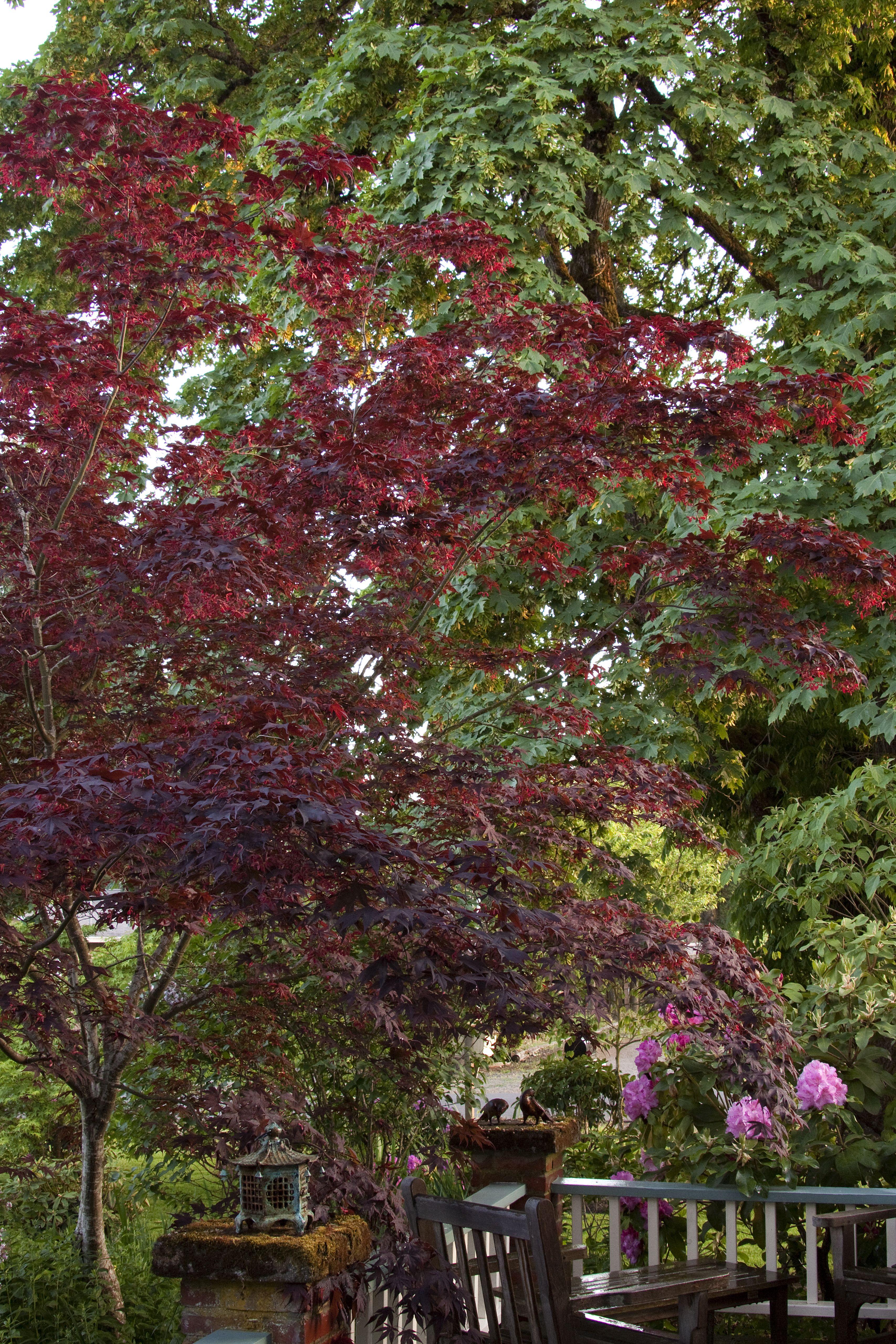 Bloodgood Japanese Maple - Monrovia - Bloodgood Japanese Maple ...