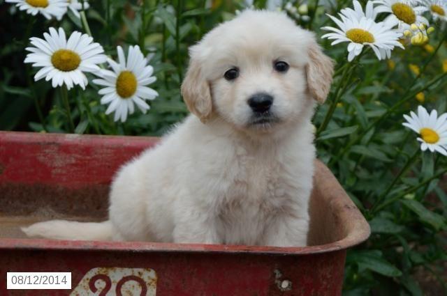 Golden Retriever English Cream Puppy For Sale In Indiana