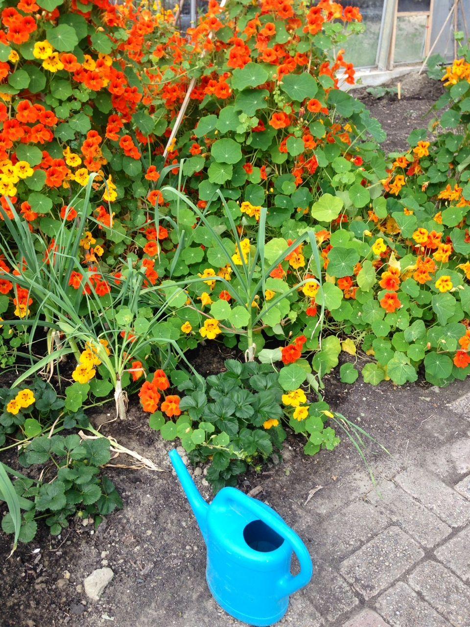 oostindische kers...zowel blad als bloem shinen in bijna al onze lente-salades!