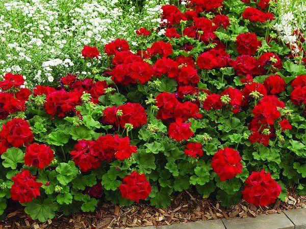 National Garden Bureau explains everything geranium.