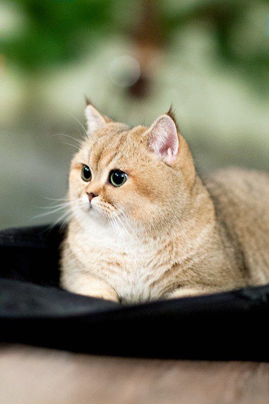 Perchik Cats Bri Cats British Shorthair Ny 25 British Golden