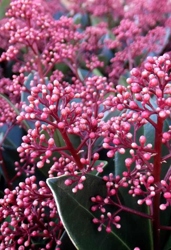 Skimmia japonica rubella rubella is a small bushy evergreen bushy evergreen shrub with dark green elliptic leaves to 10cm long panicles of red buds showy in late winter open to fragrant white flowers in mightylinksfo