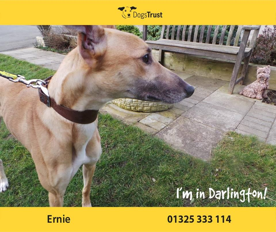 Ernie At Dogs Trust Darlington Is A Lovely Lively Lurcher Who Enjoys A Good Run Around To Use Up Some Of That Energy He Also Reall Dogs Trust Dogs Dog Waiting