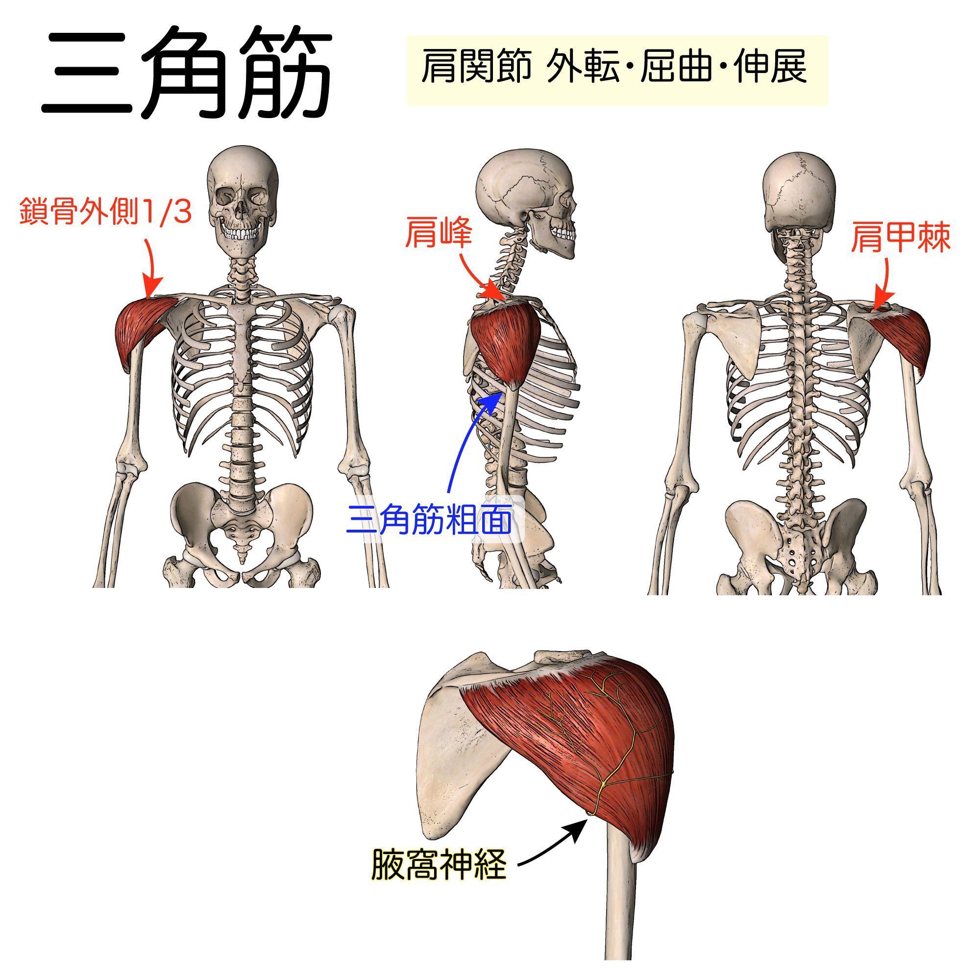 橈骨 筋 神経 腕