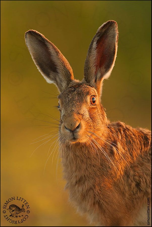 A brown hare taken on one of my hare workshops in Norfolk. See simonlitten.com for details.