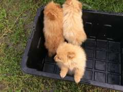 Pin By Pups4sale Com Au On Pomeranian Puppies Pomeranian Puppy