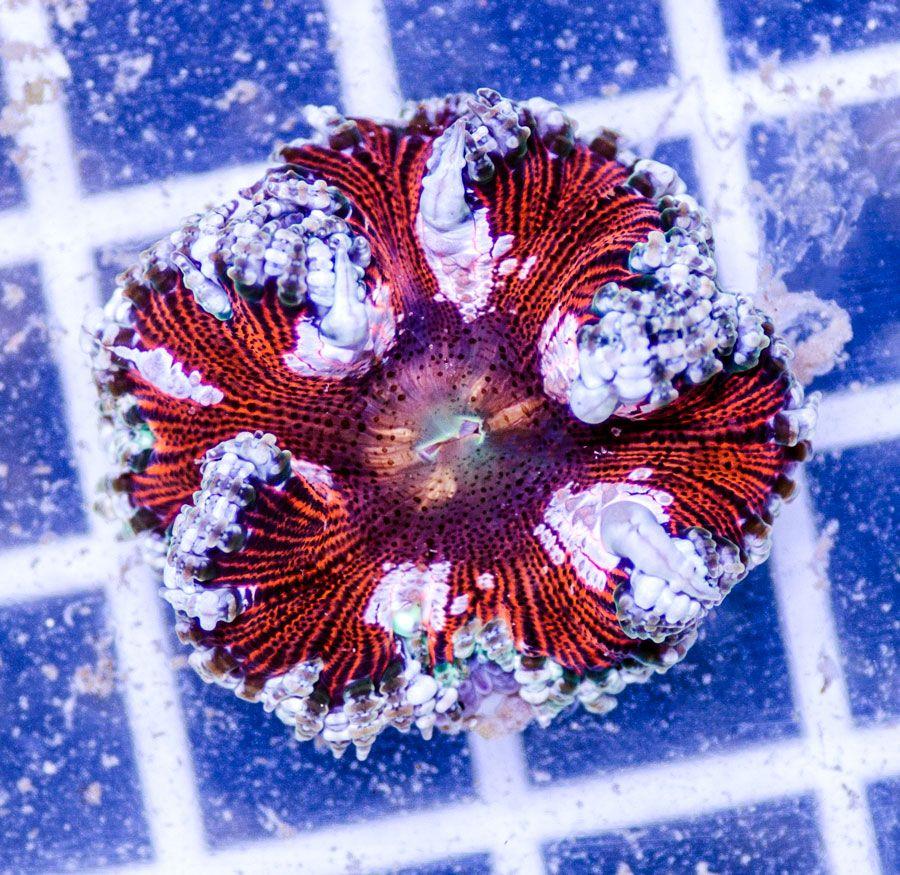 Rock Flower Anemone Austin Aqua Farms Corals For Sale Aqua Farm Anemone