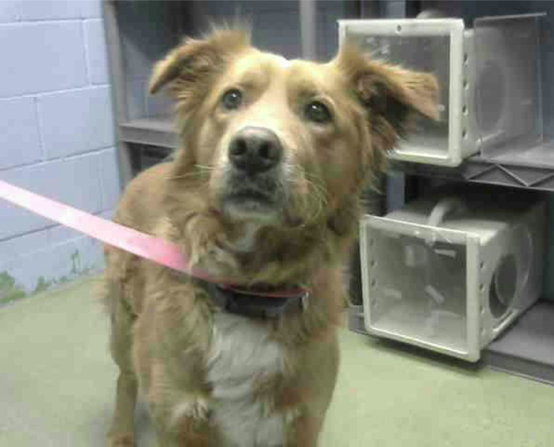 A472729 Moreno Valley Ca Male Gold And White Golden Retriever Mix The Shelter Thinks I Am About 6 Years Old Animal Shelter Golden Retriever Moreno Valley