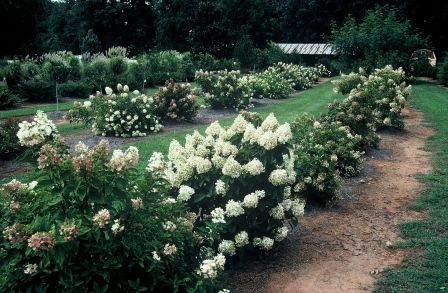 Image Result For Hydrangea Baby Lace Hydrangea Hydrangea Paniculata Garden Plants
