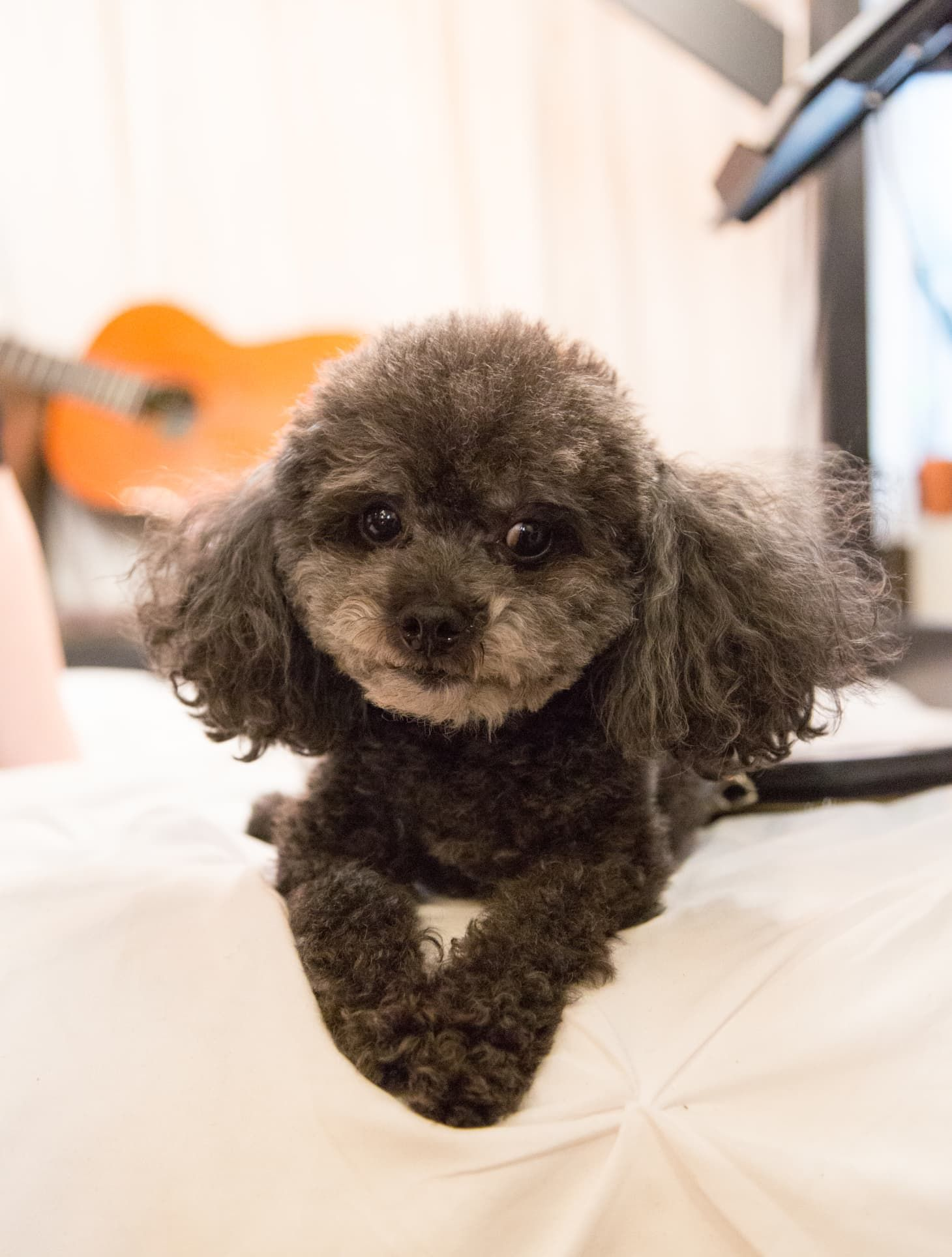 The Best Small Dogs For Apartments According To A Dog Trainer In 2020 Best Small Dogs Best Small Dog Breeds Small Dogs