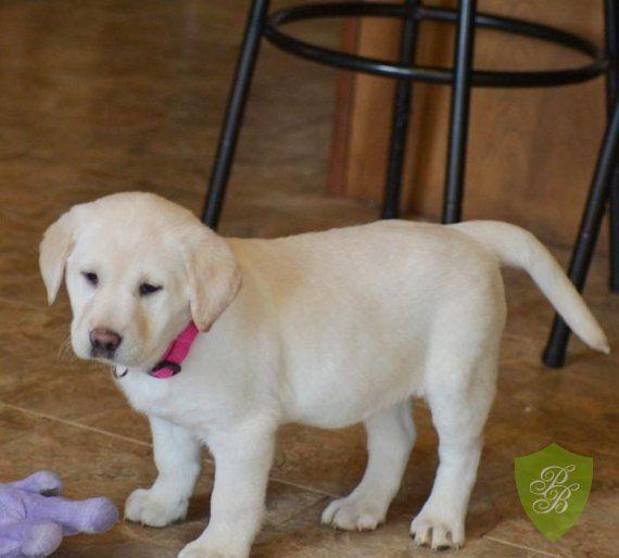 Puppies For Sale Wisconsin Labrador Retriever Breeders