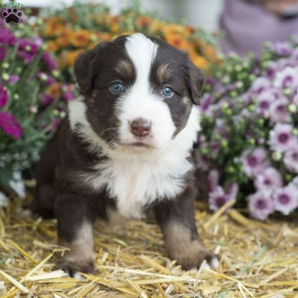 Barney Saint Bernard Puppy For Sale In Pennsylvania Great Dane