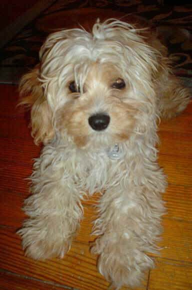 Maltipoo As Adults Adult Cavapoos Adult Schnoodles Adult