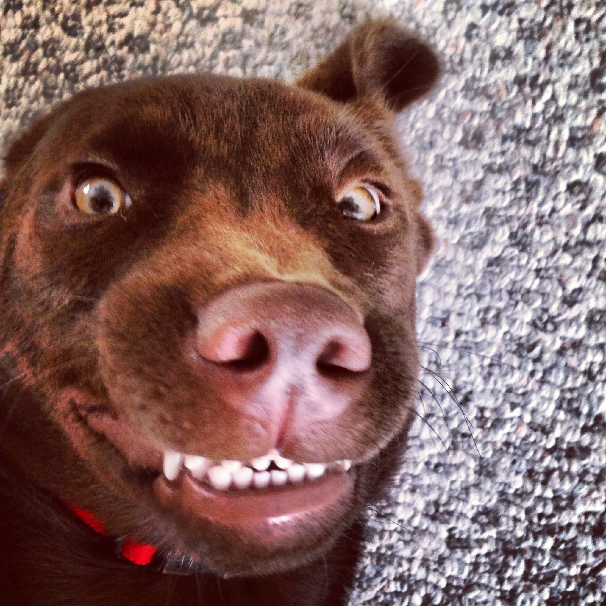 Smiling lab dog! Goofy face!! | Photography Passion ... - photo#30