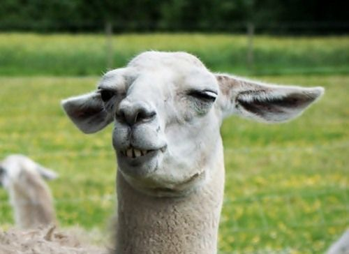25 Hilarious Animals That Have Gone Full Derp Alpacasllamas