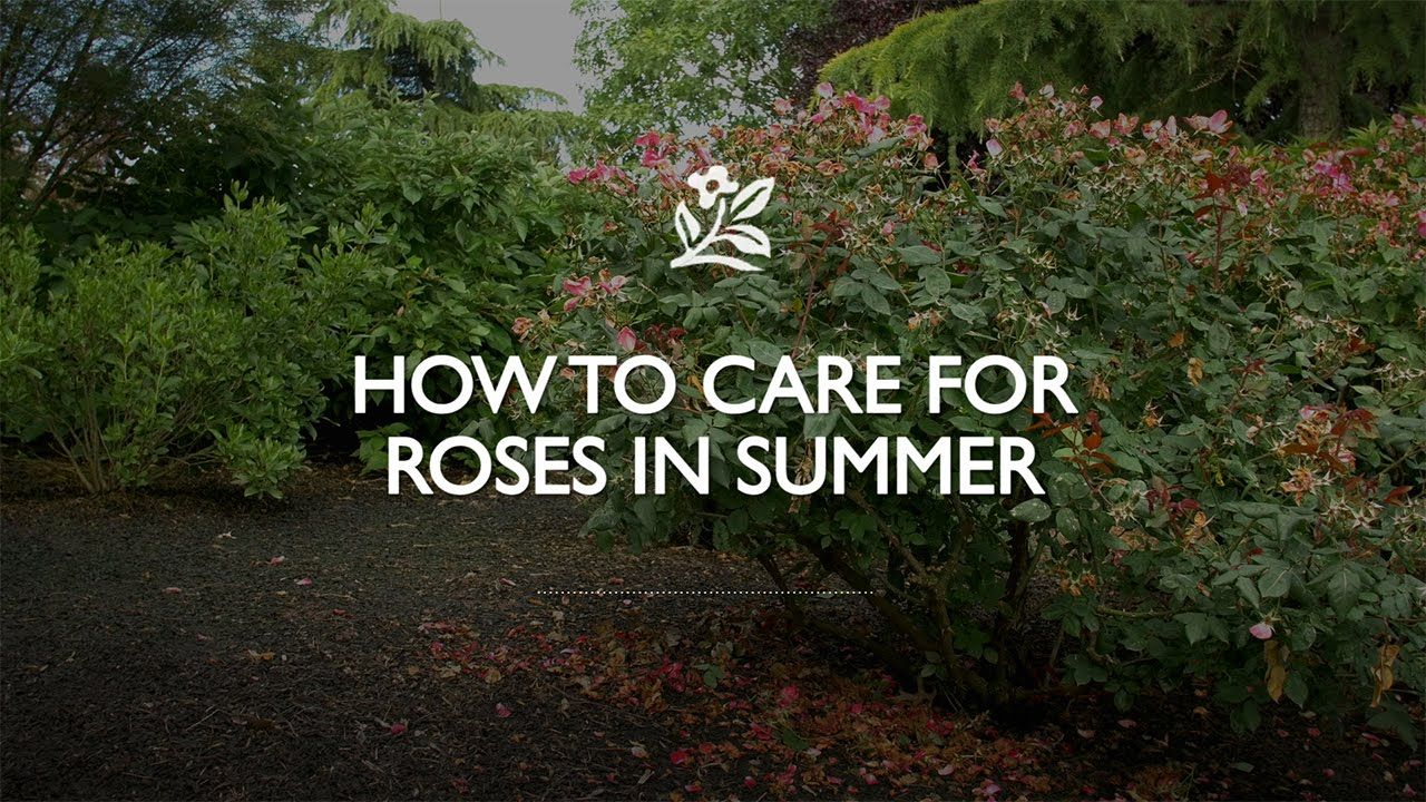 How To Care For Roses In Summer Rose Care When To Prune Roses Rose