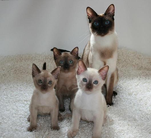 Tonkinese Family Tonkinese Cat Tonkinese Tonkinese Kittens