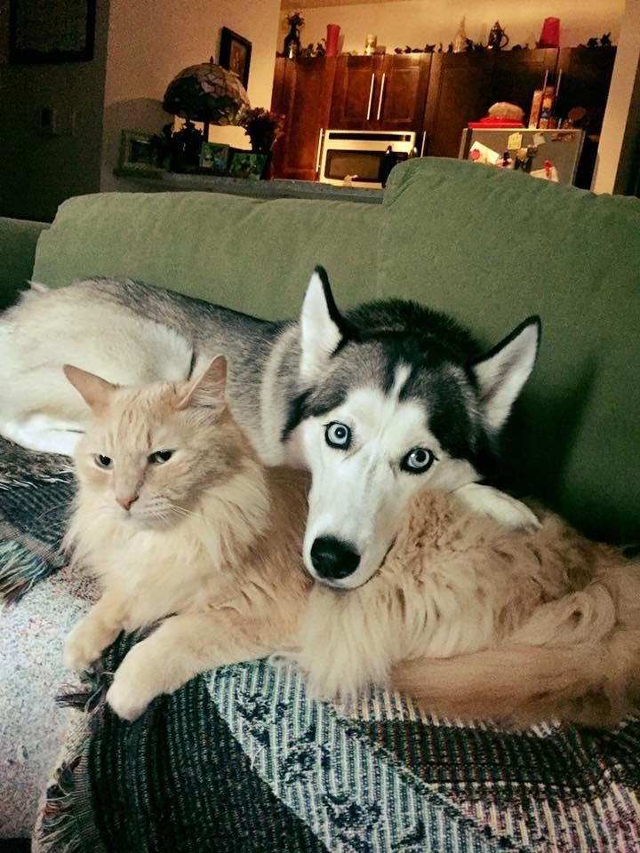 Our Siberian Husky And Norwegian Forest Cat Pretending To Buttface