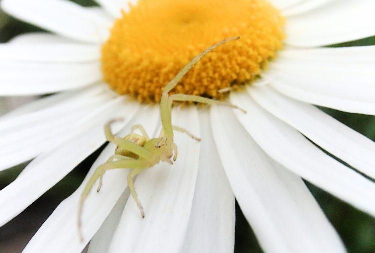 花の上でカニのポーズの蜘蛛といえば ハナグモ 蜘蛛 緑色 益虫