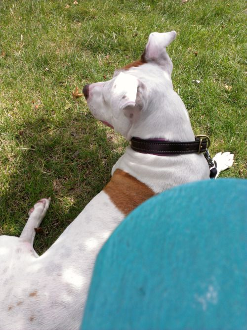 ittybittythepitty:  Found a nice spot in the shade on the...#pitbulls #dog breeds #canine pet #dogs #pitbull puppy #pitbull dog #pitbull breeds #red nose pitbull #pitbull terrier #apbt #staffordshire terrier #amstaff #english terrier #black pitbull #moo moo pit #chocolate pitbull #pitbull poodle #blue nosed pit #pitbull mutt #mans best friend #4 month old pitbull