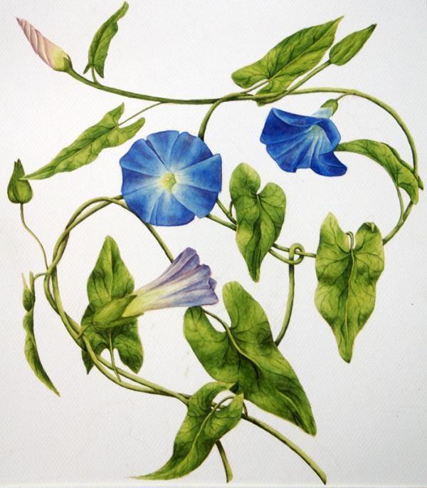 Heavenly Blue Morning Glory By Veronika Logar Blue Morning Glory Morning Glory Tattoo Vine Drawing