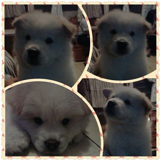 my chow mix spitz, turning 3 months