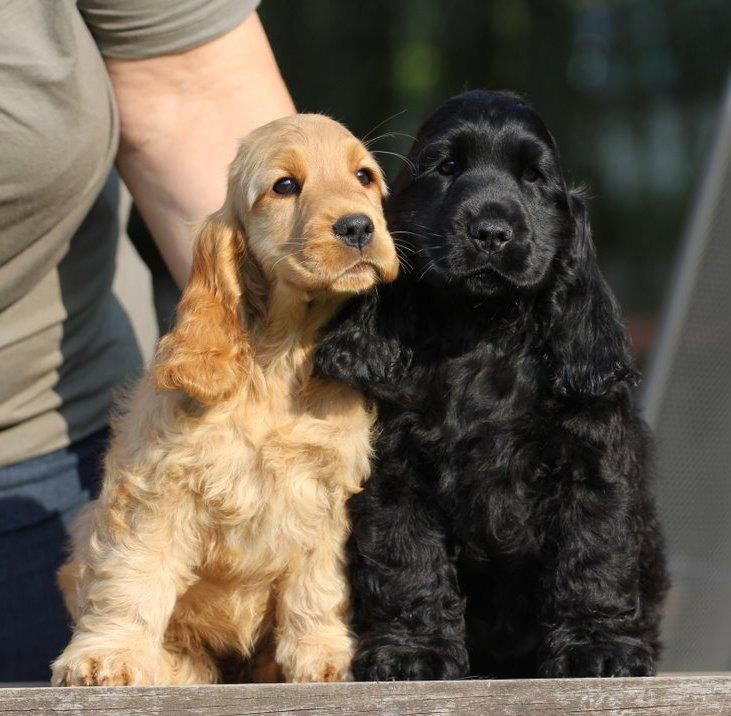 golden cocker spaniel puppies fluffy friends pinterest pin by karmic visions llc on furry joy pinterest