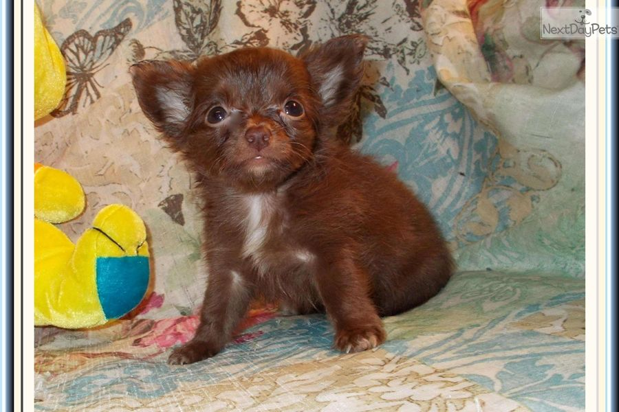 Cute Chihuahua Puppies For Sale 2021