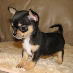 Black And Tan Chihuahua Puppy Chihuahua Puppies Cute Baby