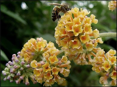 Butterfly Bush Golden Glow Butterfly Bush Flower Spray Yellow Butterfly