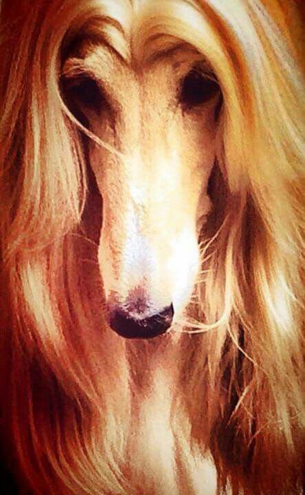 Beautiful Head Shot Afghan Hound Hound Dog Breeds Pure Breed Dogs