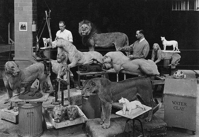 Full mount African Lions by Carl Akeley. This shows the level of detail in the manakins and also the posed sculptures used for reference. The models were made of clay at the time, unlike the methods used today. This would make a fantastic framed print