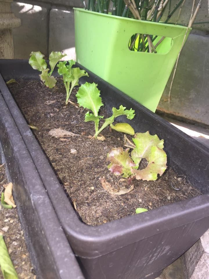 estas son lechugas. compramos las plantulas y las transplantamos