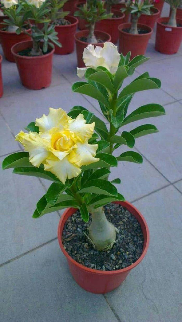 2 Rare Yellow White Desert Rose Seeds Adenium Obesum Flower
