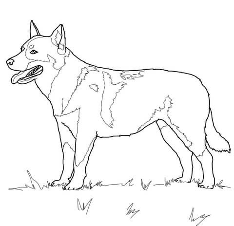Australian Cattle Dog Coloring page | DOG art | Australian ...