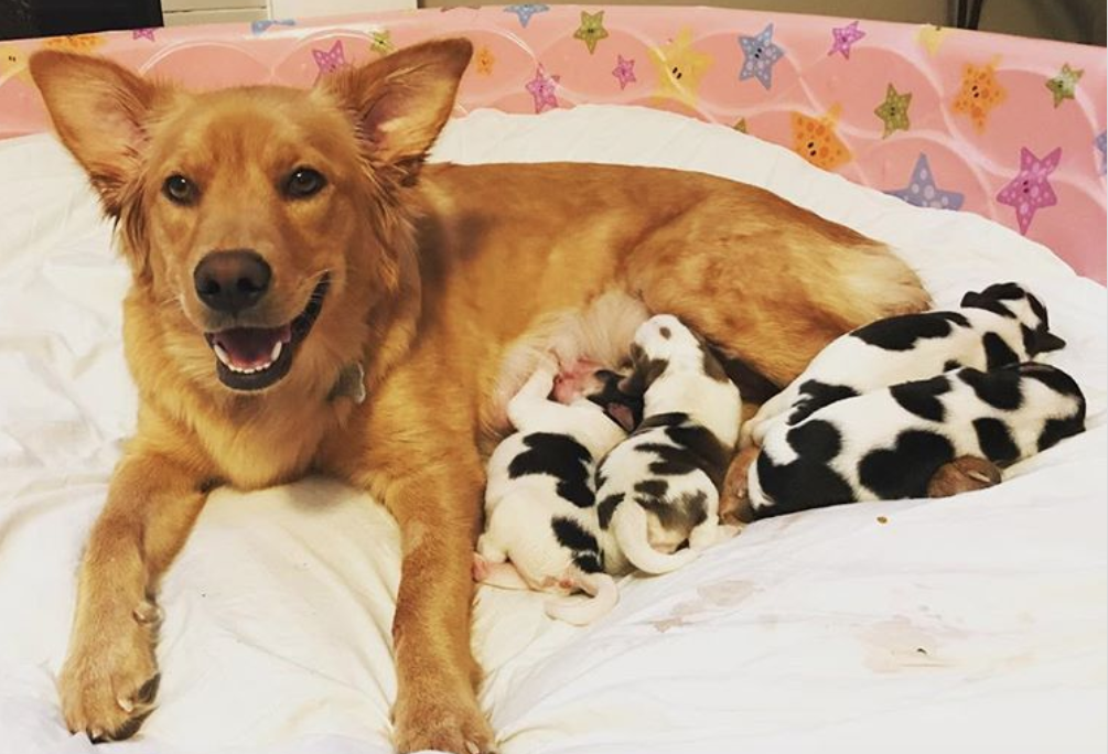Rescued Mama Dog Goes Into Labor Her New Owners Are Blown Away By