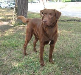 Copper Is An Adoptable Labrador Retriever Dog In Concord Nc