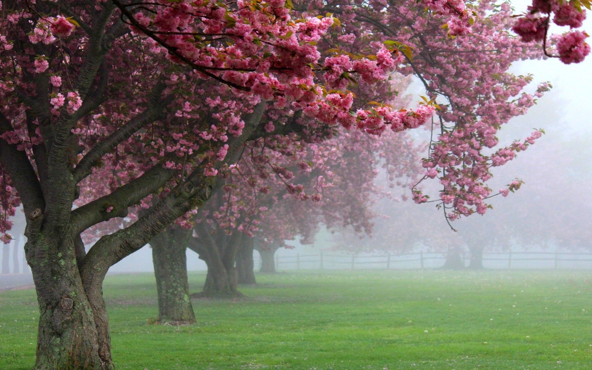 Nature Landscape Cherry Trees Mist Pink Flowers Spring Sunrise Grass Blossom Fence Green Wallpaper Pink Flowering Trees Blossom Trees Cherry Tree