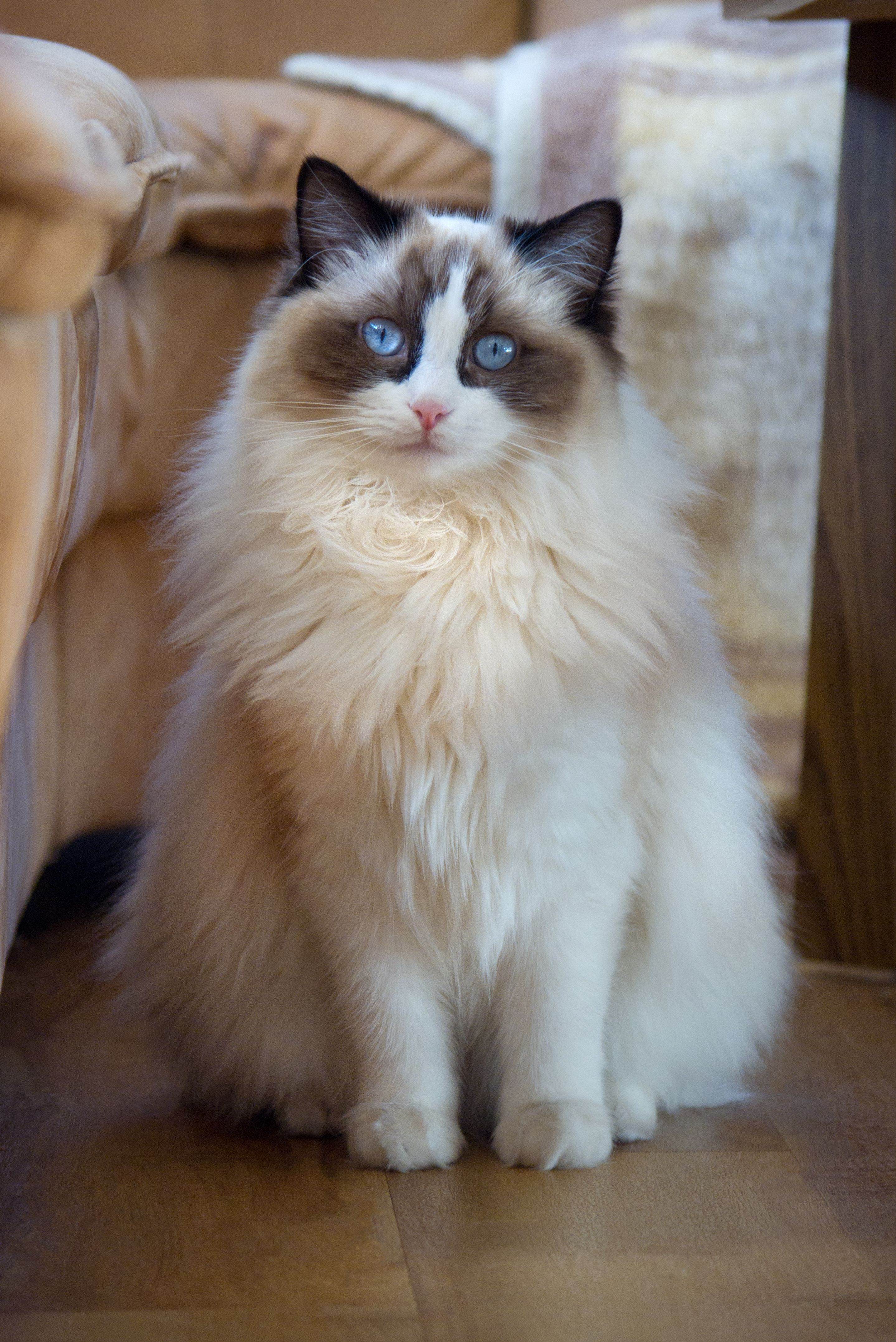 Amy Cat Breeds Ragdoll Cat Breed Cats