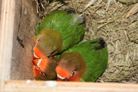 Agapornis Fischer Love Birds Pet Birds Pets