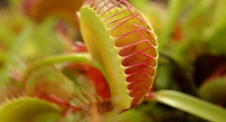 Pflege Fur Fleischfressende Pflanzen Die Venusfliegenfalle