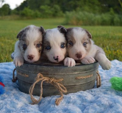 2j2k Border Collies Puppies For Sale Border Collie Puppies That Are Raised Right For You