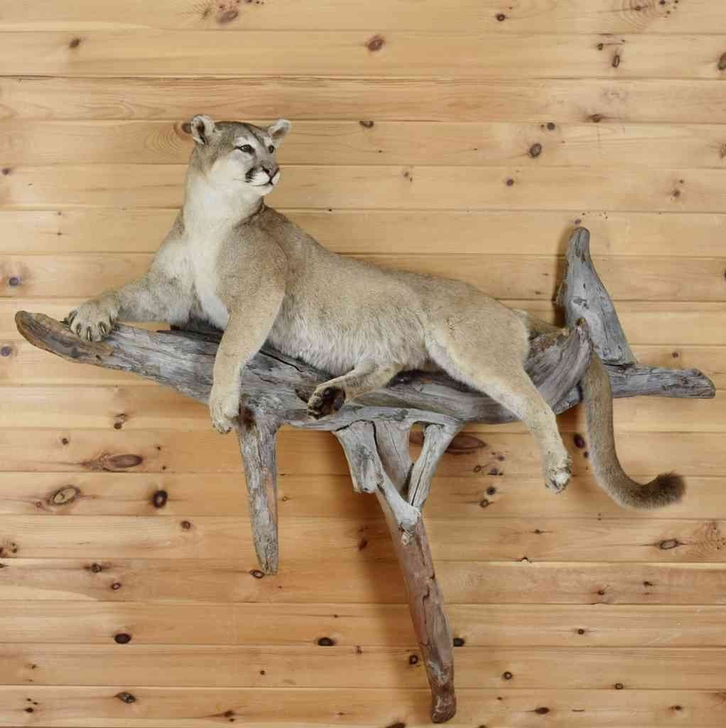 Mountain Lion Life-size Taxidermy Mount for sale SW3592 at Safariworks Taxidermy Sales