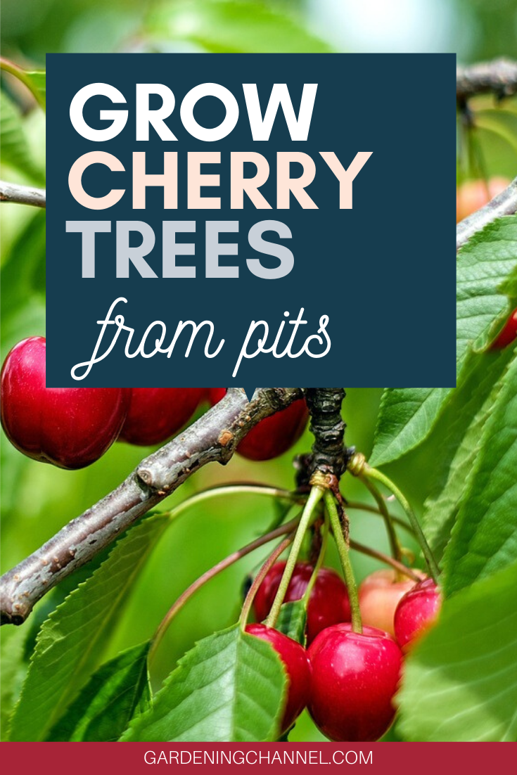 How To Grow Cherry Trees From Pits Gardening Channel Growing Cherry Trees How To Grow Cherries Cherry Tree