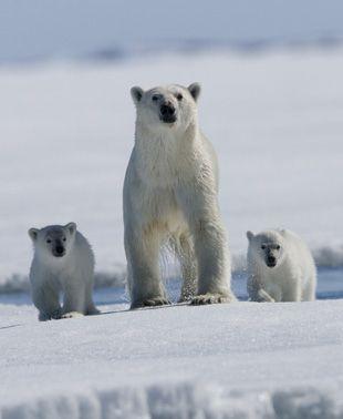 The polar bear's family