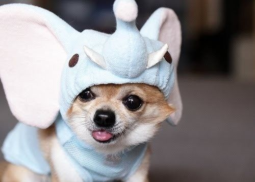 chihuahua in elephant outfit.  mmmkay?   ...........click here to find out more     http://googydog.com
