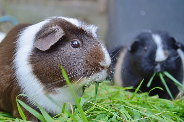 Can Guinea Pigs Eat Celery and How Much I Should Give? #CanGuineaPigsEatCelery #CanGuineaPigsEatStrawberries #CanGuineaPigsEatBananas #CanGuineaPigsEatGrapes #CanGuineaPigsEatBroccoli