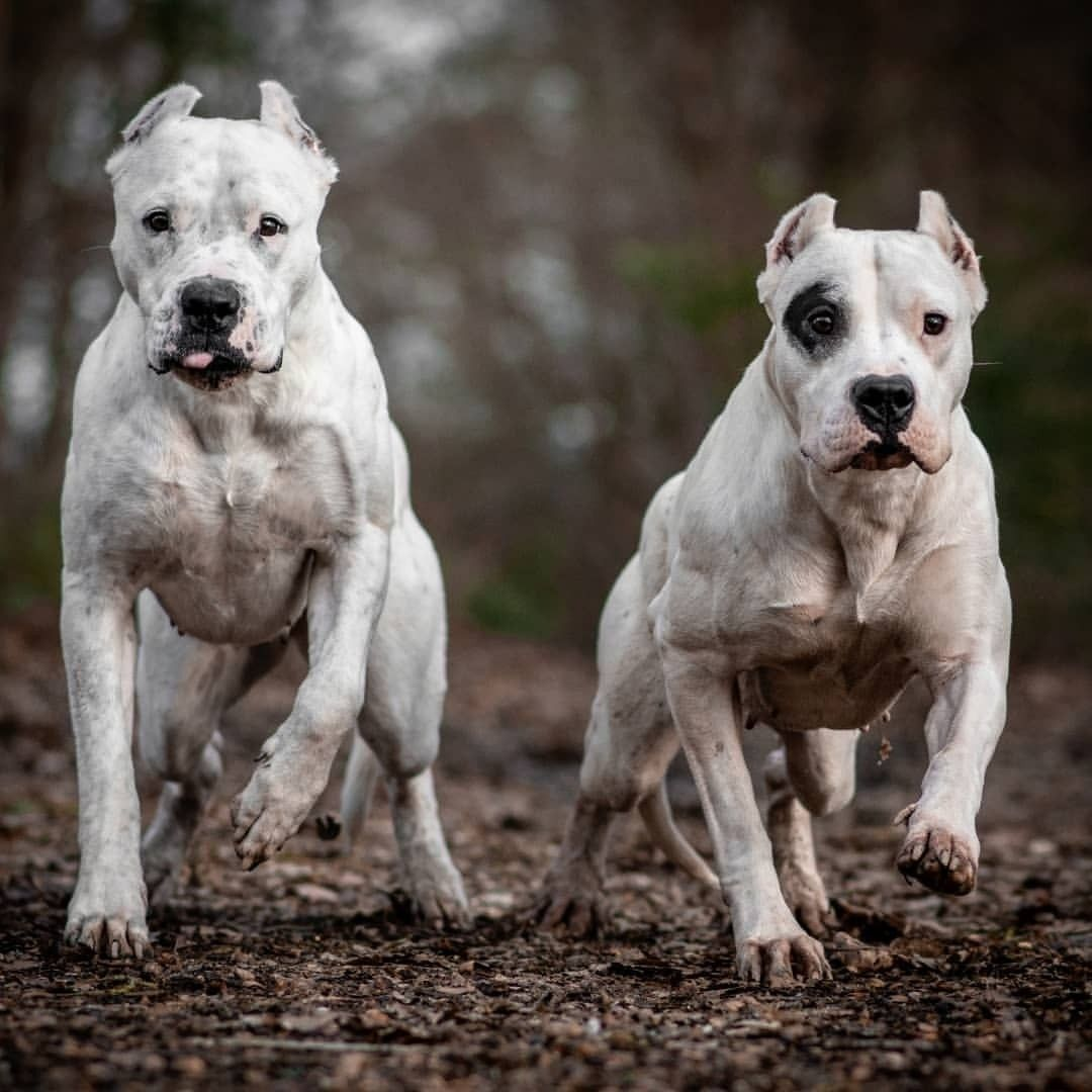 Aunt Niece From France Dessjam C Dogo Argentino Dogoargentino Dog Argentino Dogs Working Dogs